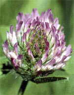 Red Clover can contribute to Uterine Fibroid tumor ( myoma )